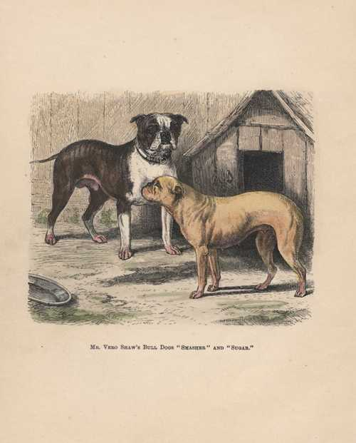 "Mr Vero Shaw's Bull Dogs ""Smasher"" and ""Sugar"" antique print c1878."