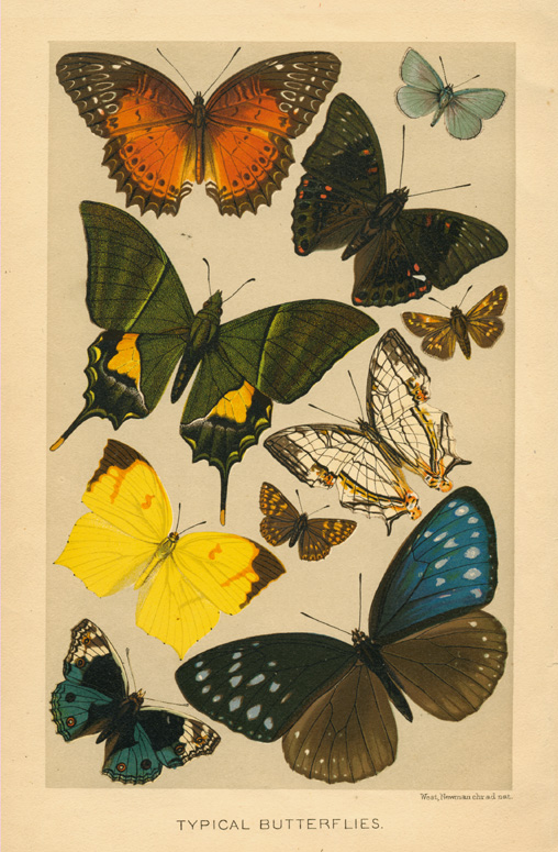Typical Butterflies. Pretty 19th century chromolithograph c1896.
