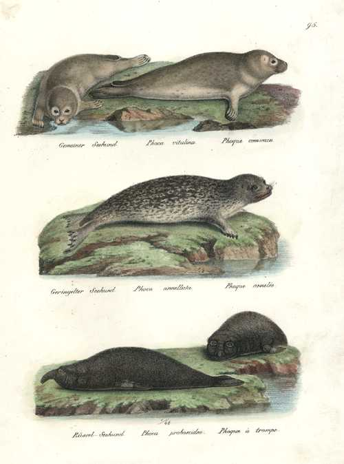 Joseph Brodtmann hand-coloured lithograph of Seals c1827