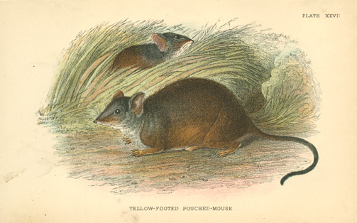 Australian Yellow-footed Pouched-Mouse, Antechinus flavipes antique print c1896
