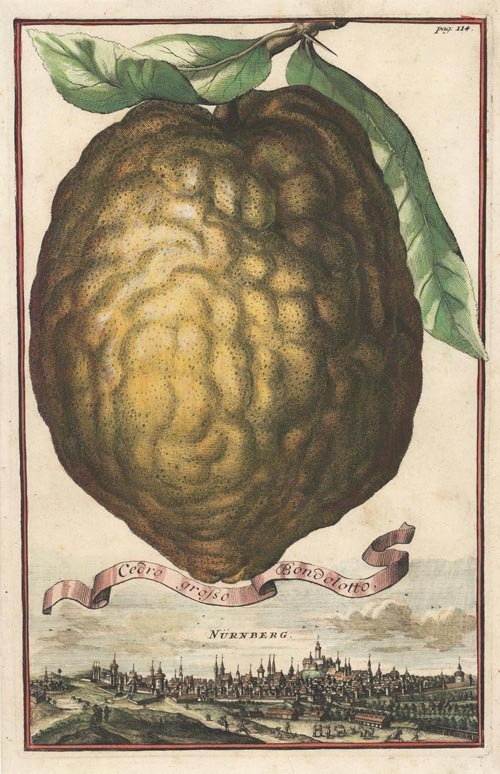 Volckamer Large Lemon, Cedro Grosso Bondolotto engraving c1710.