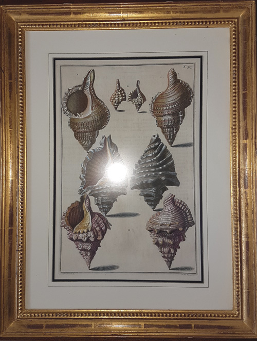 Beautiful framed Shells. 18th century antique print c1742.