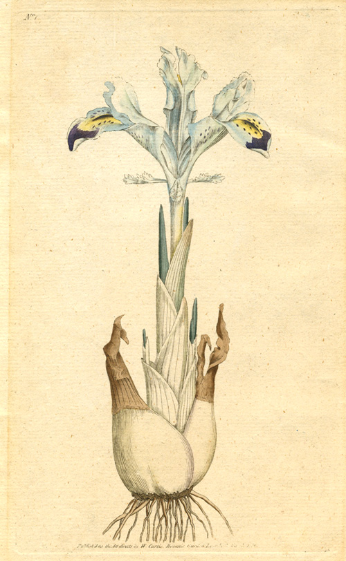 William Curtis botanical plate Iris Persica. Persian Iris c1786.