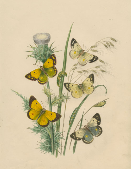 Transformation of Butterflies. Antique hand-colored engraving by Humphreys c1849