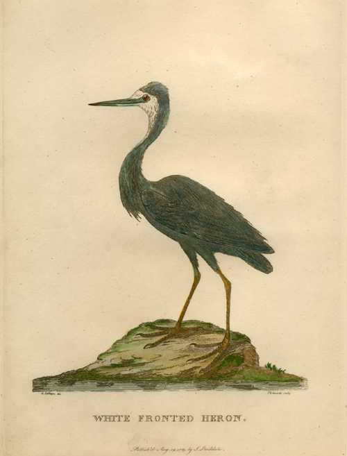 Australian White Fronted Heron antique engraving for Governor Phillip c1790