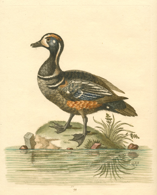 George Edwards Grand Duck, etched and engraved copperplate c1745.