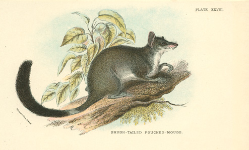 Australian Brush-tailed Pouched Mouse, Phascogale penicillata lithograph c1896.