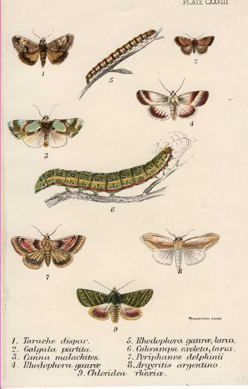 Lepidoptera: Tarache Dispar & 8 other Moth species with larvae. c1897