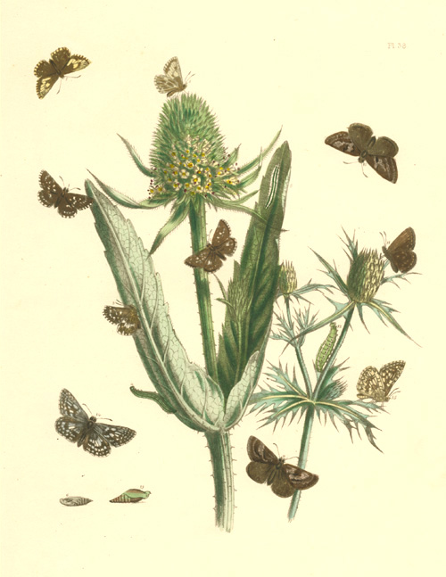 Humphreys Pyrgus and Nisionades Skipper Butterflies Lithograph c1849.