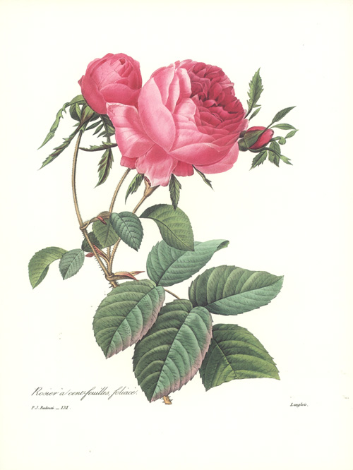 Rosier a cent-feuilles, foliace. Leafy 100-petalled Rose print.