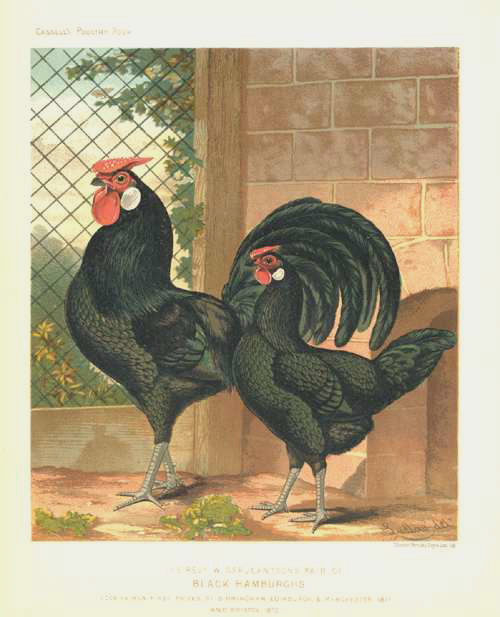 Poultry: Chickens. Black Hamburgs. Lithograph c1880
