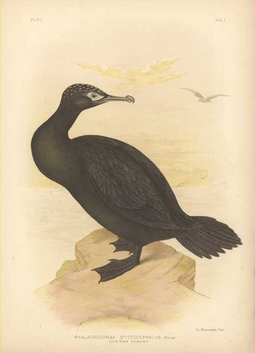 Broinowski Little Black Cormorant antique bird print. Australian bird lithograph c1890.