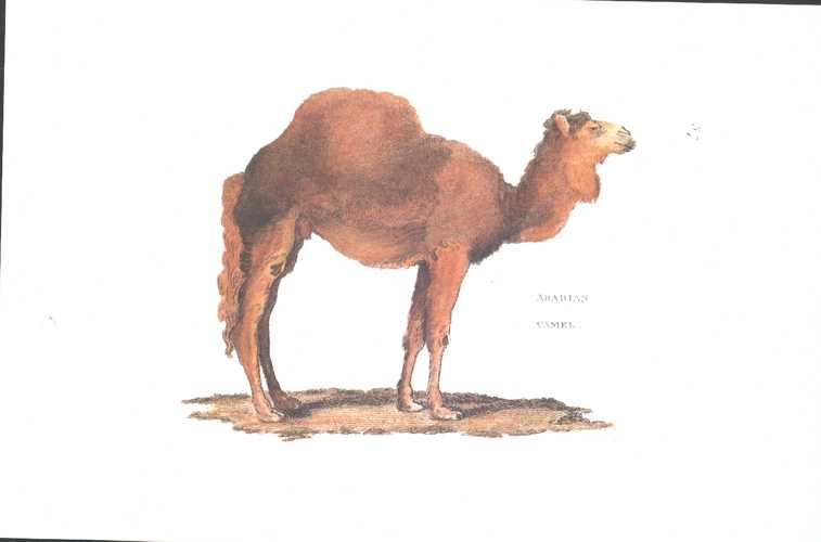Arabian Camel by George Shaw. Heritage Editions Camel print.