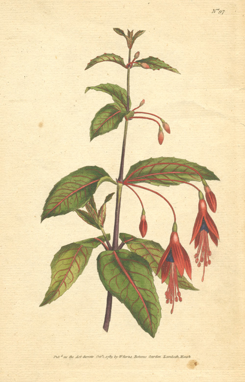 William Curtis botanical engraving Fuchsia Coccinea. Scarlet Fuchsia. c1790