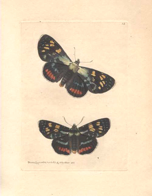 Australian lepidoptera, Painted Agarista hand-coloured engraving by Nodder for Shaw c1814.