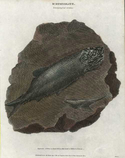 Ichthyolite. Fossilized Icthyology. Fishes in Slate, c1810