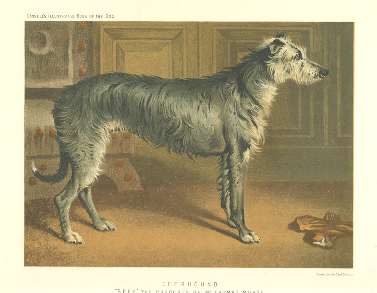 "Deerhound ""Spey."" the property of Mr Thomas Morse. Chromolithograph c1881."