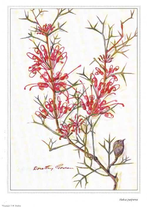 Australian Hakea purpurea print from Dorothy Gordon watercolour.