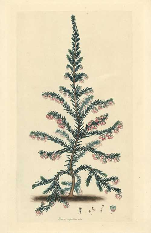 Erica rupestris rubra. Henry Andrews Heath engraving c1805