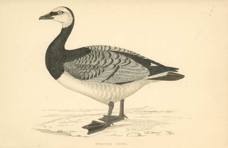 Bernicle Goose. Hand-coloured engraving for F.O. Morris c1857.