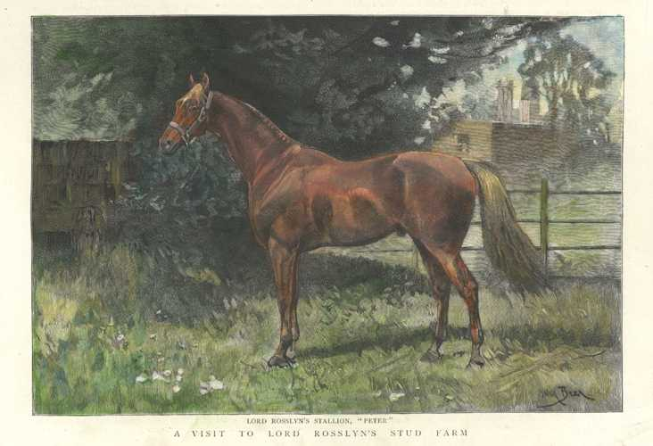 "Stud Farm Horse Breeding. Lord Rosslyn's Stallion ""Peter"". Engraving 1892"