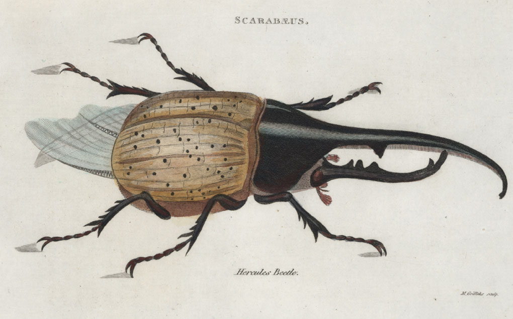 Beetles. Scarabaeus. Hercules Beetle Antique Engraving c1803