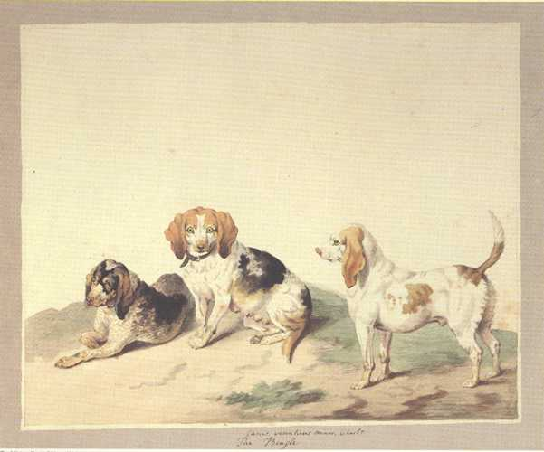 Dog Print: Beagles. Reproduction from a Sydenham Edwards watercolour