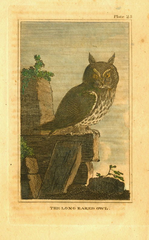The Long Eared Owl. Buffon engraving c1790.