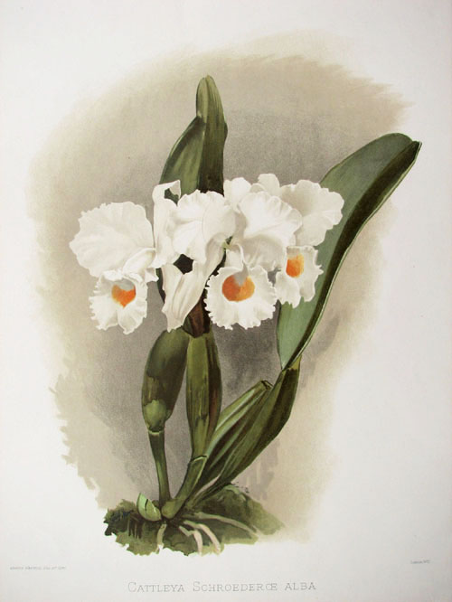 Cattleya Schroederoe alba. Sander's Reichenbachia Orchids lithograph c1888 after HG Moon watercolour.