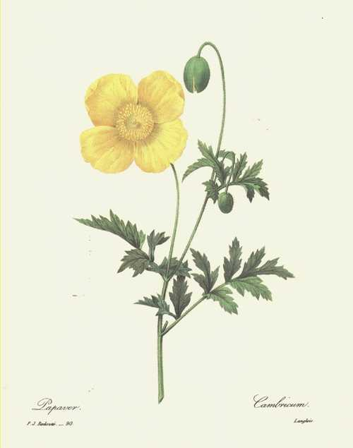 Redouté illustration. Papaver. Cambricum. Yellow Poppy image.