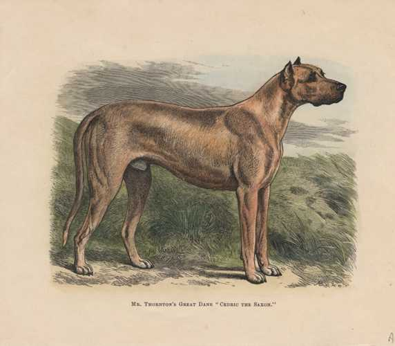 Great Dane. Cedric the Saxon. Walsh antique illustration c1878