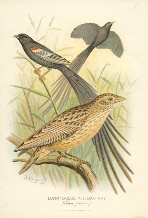 Long-tailed Whydah (Chera progne) Long-tailed Widowbird lithograph c1896.