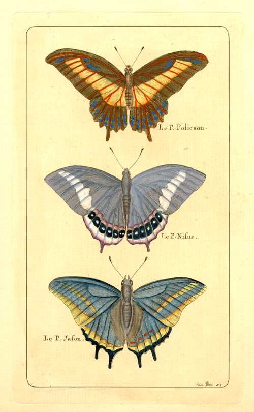 Butterflies: Le P. Polieaon, Nifus & Jafon. Hand-coloured