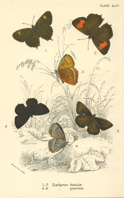 Zephyrus betulae and Zephyrus quercus butterflies antique print c1897.