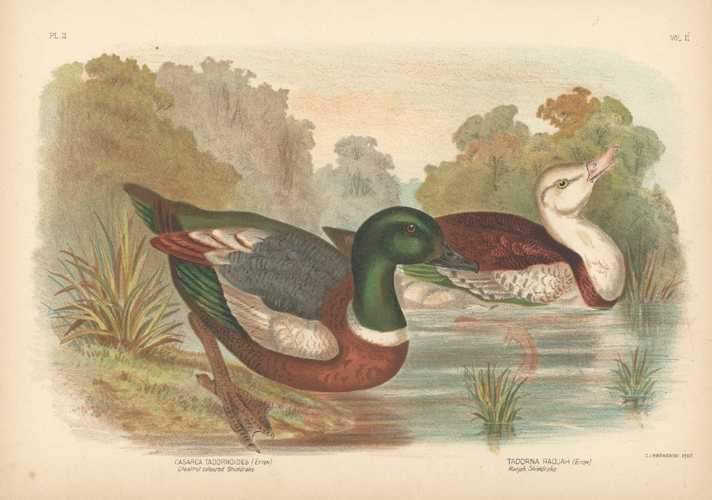 Broinowski lithograph of Chestnut-coloured Shieldrake & Radjah Shieldrake c1890