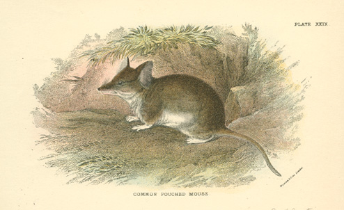 Common Pouched Mouse, Australian Antechinus marsupial mouse c1896
