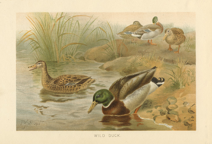 Lovely chromolithograph of Wild Ducks by P.J. Smit c1894.