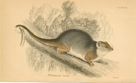 Phalangista Cookii. Australian Ring-tailed Possum antique print c1841