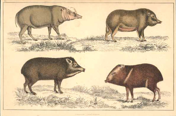 Wild Boars. Hogs. Wild pigs. Original hand-coloured engraving c1848