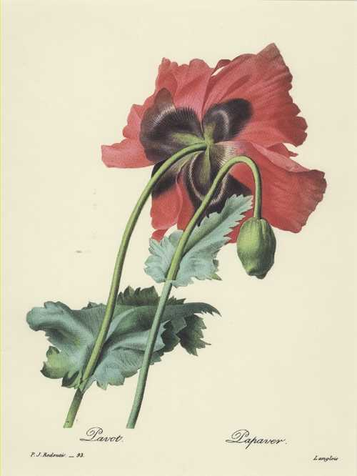 Redoute botanical illustration. Pavot. Papaver. Redoute Red Poppy