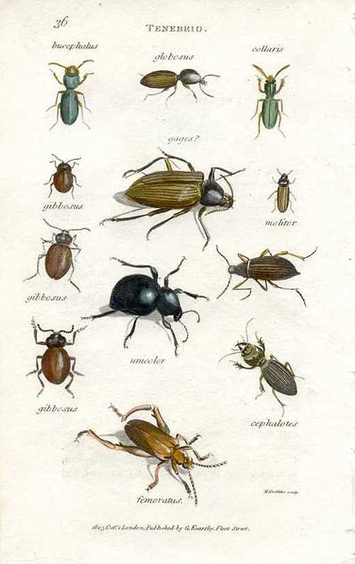 Lots of little bugs.. Shaw's Tenebrio Plate 36 engraving c1805