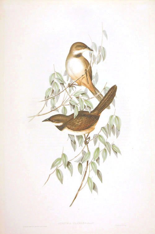 John Gould Noisy Brush-Bird Atrichia clamosa Birds of Australia lithograph c1848