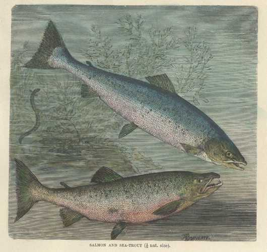 Fish. Antique Print of Salmon and Sea Trout. Lydekker engraving c1894