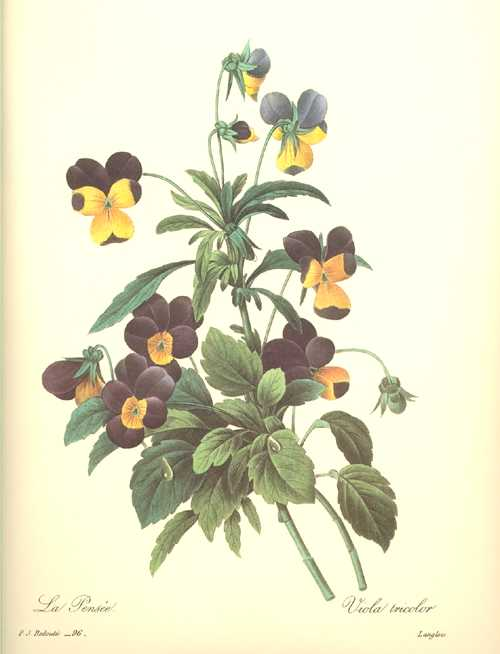 Pretty Pansies. Dark Blue & Yellow Viola Tricolor.