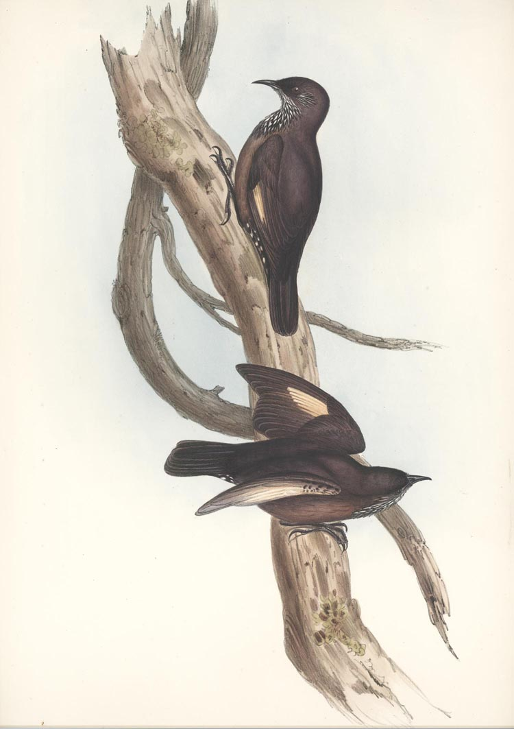 Australian Black-tailed Tree-creeper, Climacteris melanura lithograph c1845.