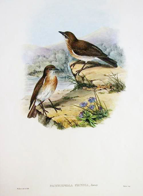 John Gould Pachycephala brunnea, Brown Thickhead hand-coloured lithograph c1880
