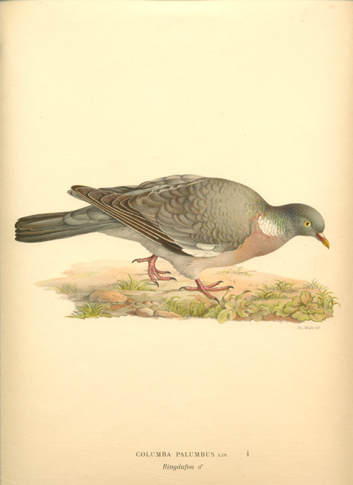 Columba Palumbus. Lin. or Common Wood Pigeon lithograph c1926.