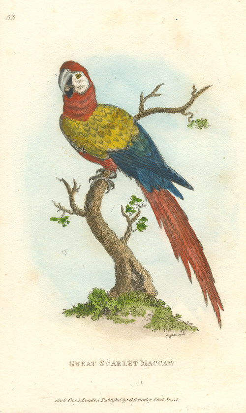 Great Scarlet Maccaw copperplate engraving for George Shaw, c1808.