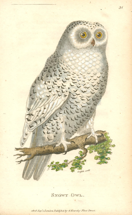 Snowy Owl original antique print. George Shaw c1808