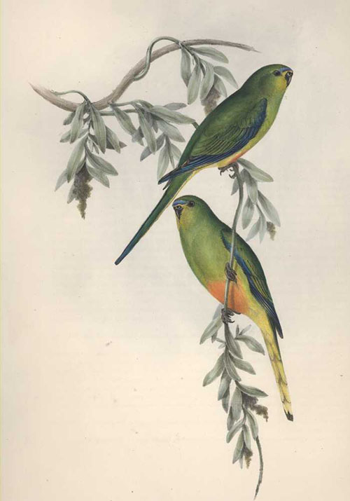 John Gould Euphema Aurantia Orange-bellied Grass Parrakeet lithograph c1840-48.